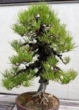 Miniature Juniper Bonsai Royalty Free Stock Photo