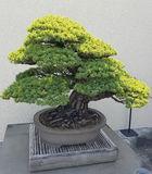Miniature Juniper Bonsai Stock Photo