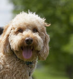 A miniature labradoodle Stock Photo