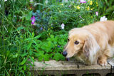 Miniature long hair dachshund in the flower garden Stock Photography
