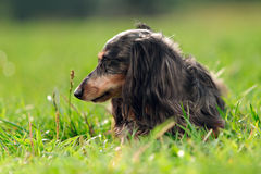 A miniature long haired dachshund Stock Image