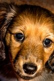 Miniature long haired dachshund. Puppy face shot royalty free stock images