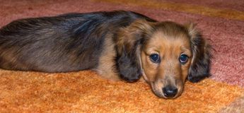 Miniature long haired dachshund. Puppy laying down on carpet stock image
