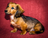 Miniature long haired dachshund. Puppy sat against red background royalty free stock images