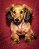 Miniature long haired dachshund. Puppy sat against red background royalty free stock image