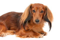 Miniature longhaired dachshund Stock Image