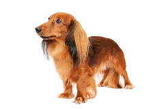 Miniature longhaired dachshund Royalty Free Stock Images