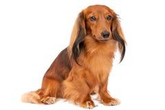Miniature longhaired dachshund Stock Image