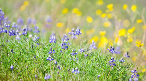 Miniature Lupine with Buttercups Royalty Free Stock Photography