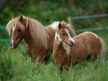 Miniature Mare and Foal. A miniature mare and foal stand in a meadow of long grass Royalty Free Stock Photo