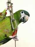 Miniature Noble Macaw Stock Photography