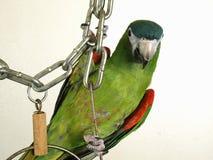Miniature Noble Macaw Stock Photo