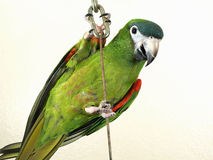 Miniature Noble Macaw. A miniature Noble Macaw hanging on a chain isolated against a white wall. This domestic green bird is known for it's ability to talk Royalty Free Stock Photo