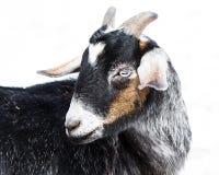 Miniature Nubian Goat Stock Image