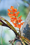 Ascocentrum miniatum Royalty Free Stock Photography