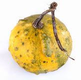 Miniature ornamental pumpkin Stock Images
