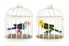 Miniature parrots in cages Stock Photos