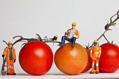 Miniature people in action with tomatoes Stock Image