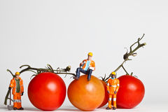 Miniature people in action with tomatoes Royalty Free Stock Photo