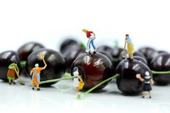 Miniature people : Maid or Housewife cleaning cherry,Food and he royalty free stock photography