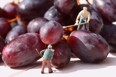 Miniature people picking red grapes C Stock Image