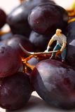 Miniature people picking red grapes A Royalty Free Stock Image