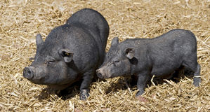 Miniature pig 1 Royalty Free Stock Photography