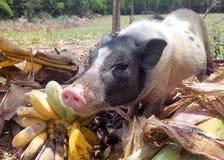Miniature pig Royalty Free Stock Photos
