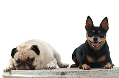 Miniature pincher dog Stock Photography