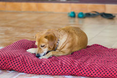 Miniature Pincher dog laying down in sunlight looking curious cr Stock Photo