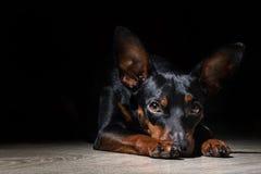 Miniature Pincher dog lies and waits Stock Photo