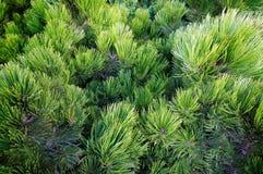 Miniature pine, cedar Stock Images