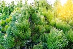 Miniature pine, cedar, green background Stock Images