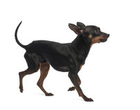 Miniature Pinscher, 10 months old. Against white background royalty free stock photos