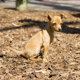 Miniature pinscher. Puppy sitting outdoor in sunshine royalty free stock photos