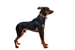 Miniature pinscher. Portrait of a purebred miniature pinscher on a white background royalty free stock images