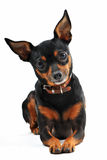 Miniature pinscher. Portrait of a purebred miniature pinscher on a white background, focus on the eyes royalty free stock image