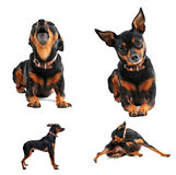 Miniature pinscher. Composite picture with purebred miniature pinscher on a white background royalty free stock photography