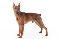 Miniature Pinscher. Image of a Miniature Pinscher. Isolated on white background royalty free stock image
