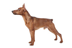 Miniature Pinscher. Stock Image