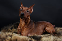 Miniature Pinscher. Royalty Free Stock Photography