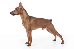 Miniature Pinscher. Stock Images