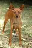 Miniature Pinscher. A full body of beautiful brown Miniature Pinscher dog from front with alert and cute expression in the little face standing on the lawn royalty free stock image