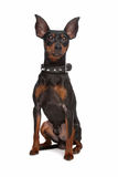 Miniature Pinscher. In front of a white background royalty free stock photo