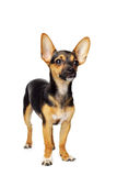 Miniature Pinscher Royalty Free Stock Images