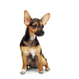 Miniature Pinscher. Isolated on white royalty free stock image