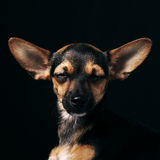 Miniature Pinscher. On a black background stock images