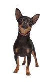 Miniature Pinscher. In front of a white background stock photography