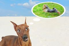 Miniature Pinscher. Stock Photos