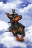 Miniature Pinscher Stock Photo